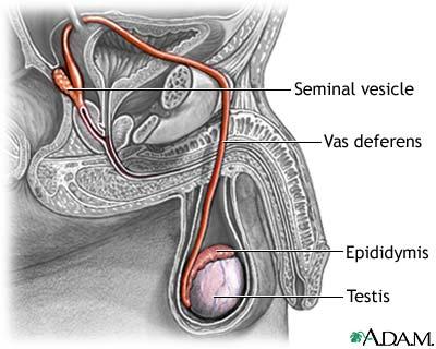 pathway of sperm
